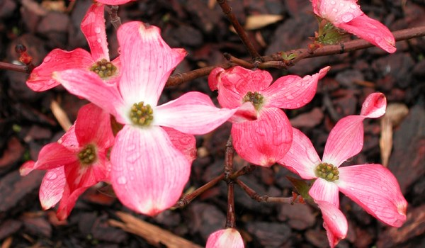 Cornouiller-rose