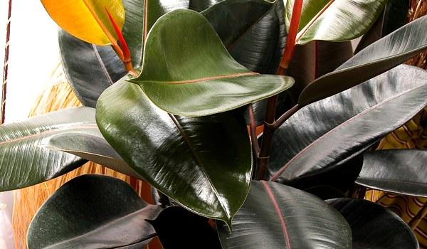 Ficus-elastika