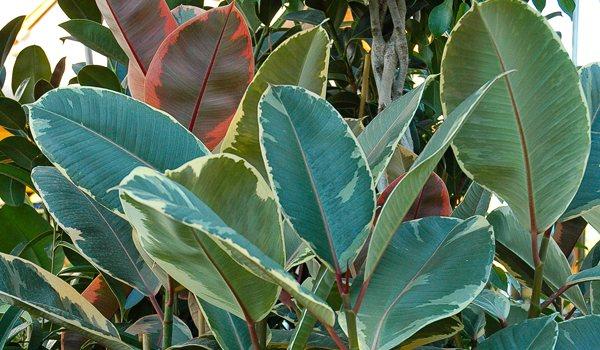 Ficus-tineke