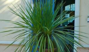 Dracaena-australis