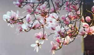 Magnolia-solangeana