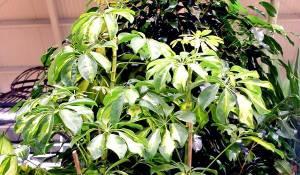 Schefflera-vert