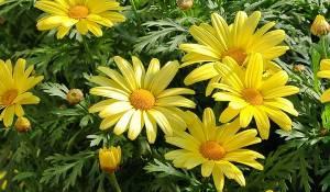 anthemis-jaune
