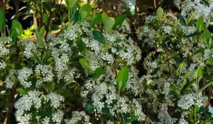 arbousier-a-feuilles