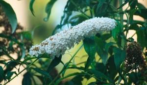 arbre-aux-papillons