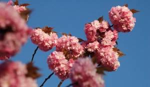 cerisier-a-fleurs-prunus