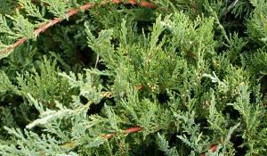 genevrier-tamariscifolia