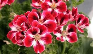 geranium-rosa