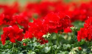 geranium-lierre-double