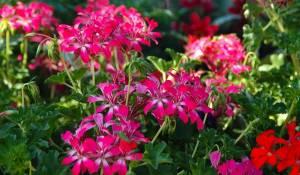 geranium-lierre