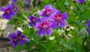 geranium-macrorrhyzum