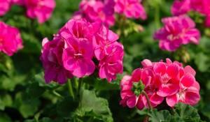 geranium-zonal