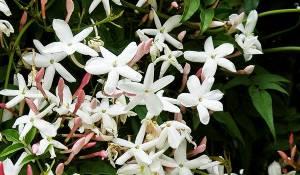 jasmin-blanc