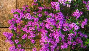 lantana-sellowiana