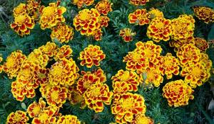 oeillet-des-fleuristes