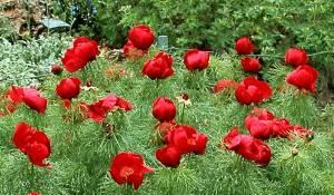 paeonia-tenuifolia